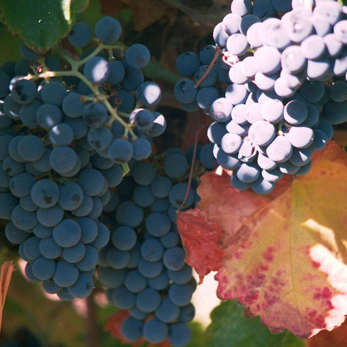 The World of Cabernet Sauvignon